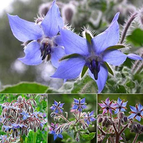 AIMADO Samen-Rarität 30 Stück Borretsch Samen mehrjährig raschwüchsiges Küchenkraut Bio Saatgut bienenfreundliche blumensamen,Ausgezeichnete Bienenpflanze für Garten