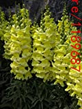 honic 100pcs snapdragon (anthirrhinum majus) piante bocca di leone fiore bonsai 10 colori piante in vaso per il giardino di casa: 2