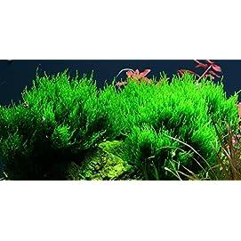 Tropica Aquarium Pflanze Moos Taxiphyllum 'Flame Nr.003H TC in Vitro 1-2 Grow Wasserpflanzen Aquarium Aquariumpflanzen