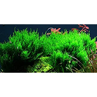 Tropica Aquarium Pflanze Moos Taxiphyllum 'Flame Nr.003H TC in Vitro 1-2 Grow Wasserpflanzen Aquarium Aquariumpflanzen