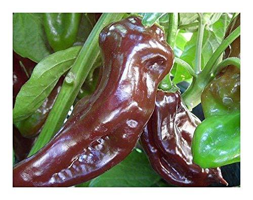 SANHOC Samen-Paket: Chili Schwarz Haba - Paprika - 5 seedsSEED