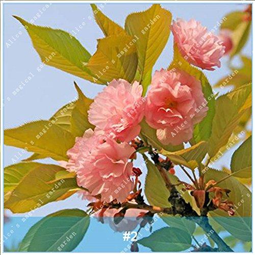 ZLKING 20pcs/pack japonais Sakura Fleurs Bonsaï Graines Cerasus yedoensis fleurs de cerisier facile de cultiver des plantes de fleurs exotiques 2