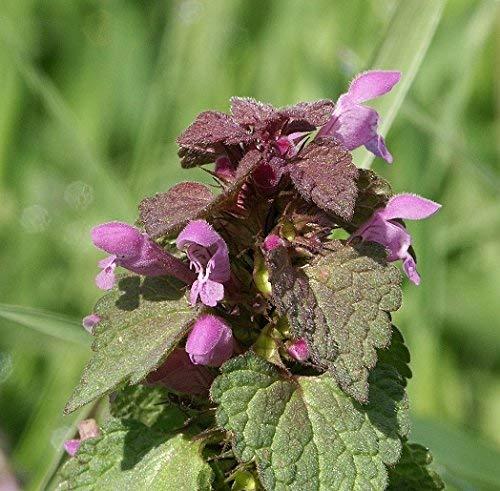 35-40 Samen von W268 Rote Taubnessel (Lamium purpureum)