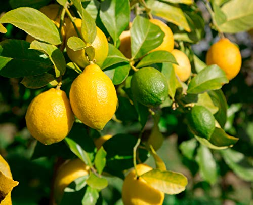 20pcs Lemon Tree Seeds Fruit Seeds Home Garden DIY Bonsai Plant