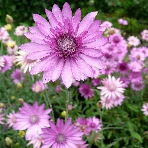 Semillas xeranthemum Siempreviva Mezcla de flores (xeranthemum annuum) 200 + Semillas
