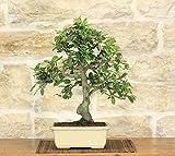 bonsai di quercia - leccio (37)