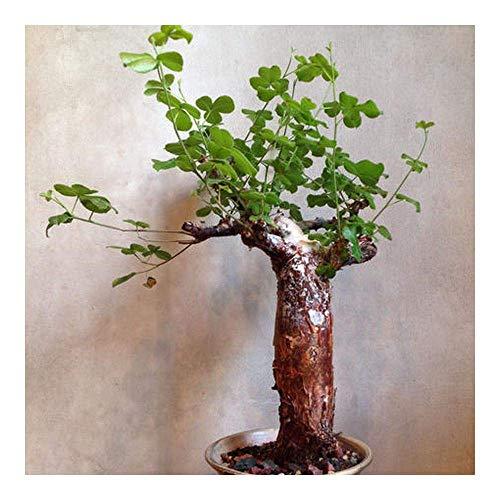 種子パッケージ:コミフォラedulis VAR boiiana - Caudiciform - 1 SeedsSEED