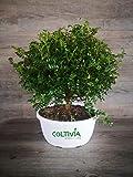 Pianta di Pepe Giapponese - Zanthoxylum Beecheyanum (Ciotola - vaso 30)