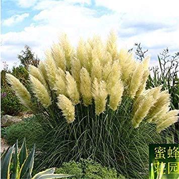 VISTARIC Limitée Nouvelle été exclus régulier Pu Wei Embellir Tempéré Semence Reed Maison Décoration jardin Plantation 100 graines