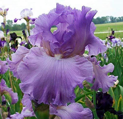 Schwertlilie - 1 Fragrant LILA Rhizome/Bulb Fall Pflanzen & Spring Blooms