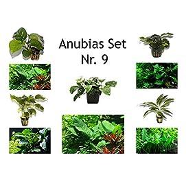 Tropica Anubias Set 4 verschiedene Anubias + 1 Mutterpflanze Aquariumpflanzen Nr.9