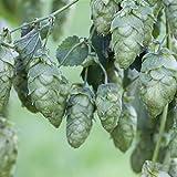 Kletterpflanze Humulus - Echter Hopfen 60-100cm im 2L Topf gewachsen -