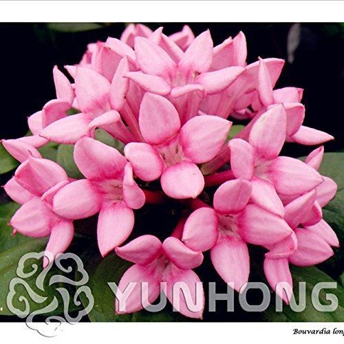 6: 50 Stücke Französisch Bouvardia Longiflora Blumenstrauch Busch Samen Erstaunliche Gartentöpfe Pflanzgefäße Bonsai Pflanze Baum Blumen