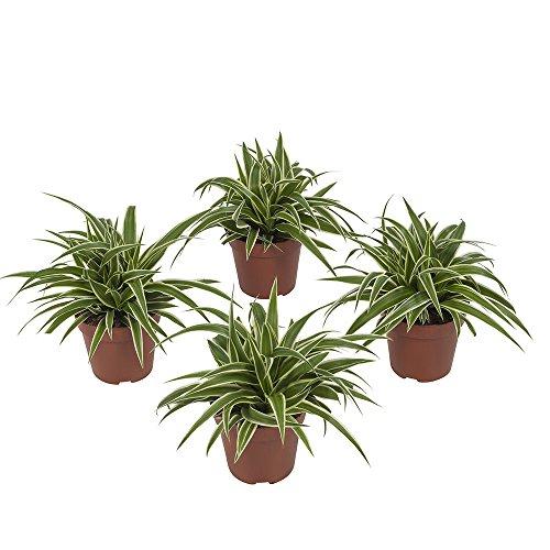 Chlorophytum Ocean | Plante araignée | 4 plantes | plante d'intérieur| hauteur 20 cm | Pot 12 cm | Entretien facile