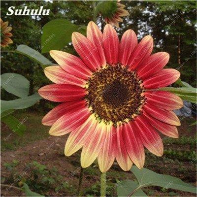 Nouveautés 40 Pcs Graines de tournesol bio mixte Helianthus annuus Graines d'ornement semences de fleurs de tournesol russe plante pour jardin 14