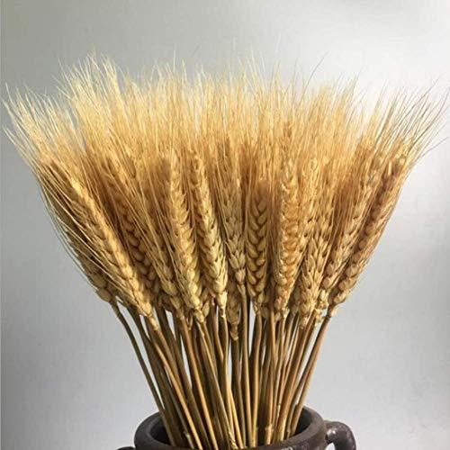 100 Pcs Dry Wheat Grass Bouquet Natural Wheat Dried Grasses Bundle Dried Wheat Length 45cm (Wheat)