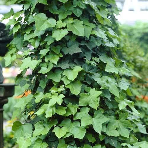 Beautytalk-Garten Großblättriger Efeu Hecke, Bunter Efeu Strampler sät Anti Strahlungs im Freienzucht Garten Dach Dekor Laubpflanzen Boston Ivy