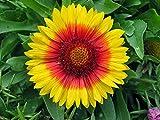 Mesa Bright Bicolor Blanket Flower - Gaillardia - Live Plant - Quart Pot