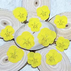 Silk Flower Arrangements Artificial and Dried Flower 120pcs Dried Pressed Yellow Pansy Corydalis Suaveolens Hance Flower Plants Herbarium for Jewelry Pendant Earrings Making