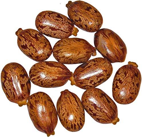 Ricinus Wunderbaum (Palma Christi) 30 Samen ***4-6 Meter im ersten Jahr***