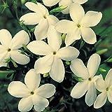Pack x6 Hardy Jasmine Jasminum 'Clotted Cream' Perennial Climbing Plug Plants