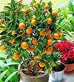 Potseed . Promozione! Arancione No-OGM Mini Albero Balcone Patio in Vaso Alberi da frutto Kumquat Piante Mandarino agrumi, 10garden