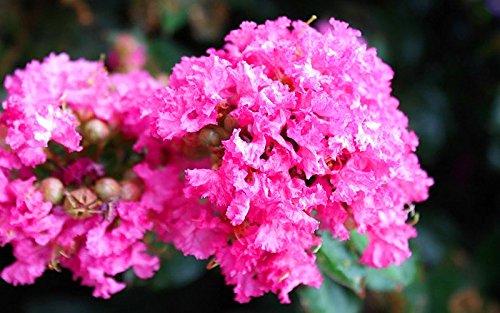 100+ GRAINES chinois Crape Myrtle Lagerstroemia Graines d'arbres indica bonsaï fleurs Graines *
