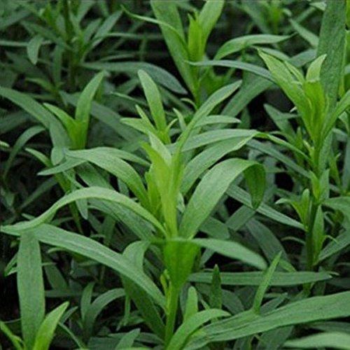 10PCS Tarragon Seed Artemisia dracunculus Seed