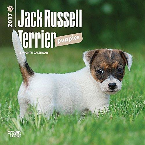 "Jack Russell Terrier Puppies 2017 Mini Calendar 7"" x 7"""