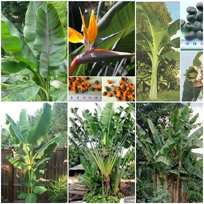 Freiland Bananen / Strelitzien - 6 Arten - je 10 Samen - außergewöhnliche Bananen