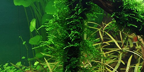 Spiky Moss - Taxiphyllum 'Spiky' - Portion 4x6 cm Plastic Bag - Live Aquarium...