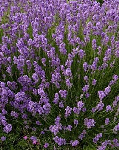 Lavendel 50 Stück Dwarf Blue Echter Lavendula Hecke, Bodendecker, T9x9