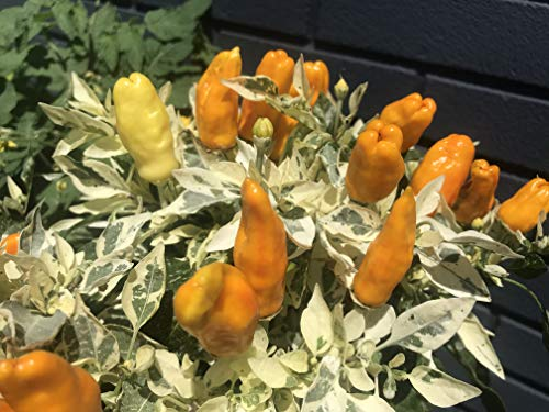 Sherwoods Seeds Orange Fish Pepperoncini Bonchi Bonsai Pepper Premium Seed Packet
