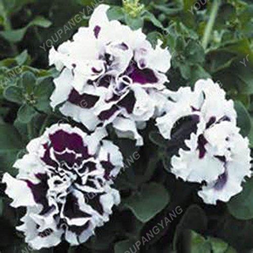 200pcs Bonsai Pétales de fleurs de pétunia couleurs mélangées Double Petunia Hybrid Seeds avec le pack professionnel Une décoration pour la maison Green Garden