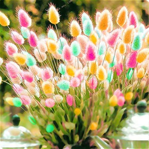 AIMADO Samen-100 Pcs Hasenschwanzgras 'Lagurus' Ziergras Bunt Saatgut Sommerblumen,Mit wattig weichen Blütenbällchen sehr gut als Trockenblume für die Binderei eignet
