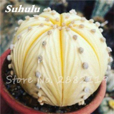100 Pcs mixte vrai Cactus Seeds, Mini Cactus, Figuier, Graines Bonsai fleurs, vivaces herbes Plante en pot pour jardin 21