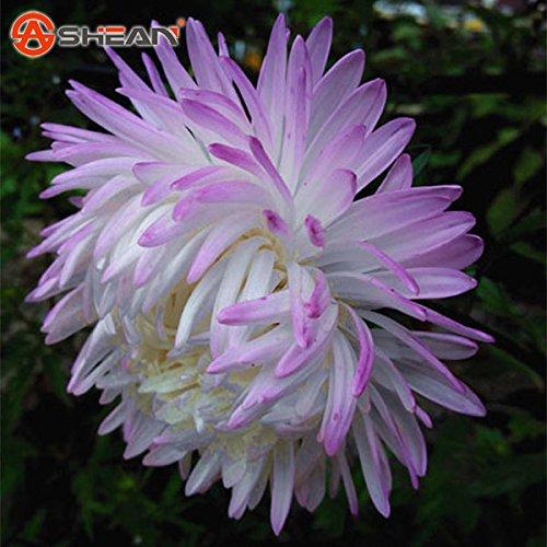 Un paquet de 100 graines Pcs Blanc Violet Callistephus Chinensis Fleur Balcon pot Bonsai Fleur Graines Aster Seed