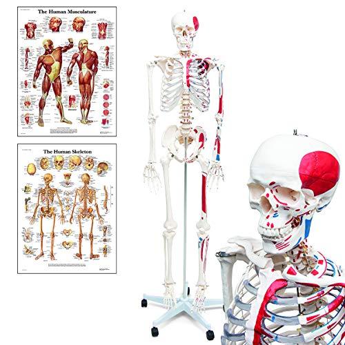 Elementary Anatomy Skelett - Mike, das Budget-Muskelskelett - lebensgroßes menschliches Skelett mit bemalten Muskelansätzen & Ursprüngen - Schulungsmaterialien