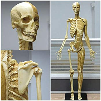 Best human skeleton reference Reviews