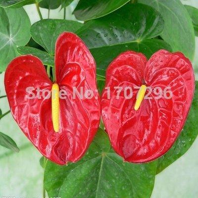 graines de Anthurium, palmier rose, palmiers blanc, la culture du sol, les plantes hydroponiques, des plantes en pot Balcon - 10 pcs / lot