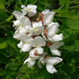 Genuine Plant World Seeds branded packets supplied direct from Plant World Seeds UK Common Name: Black Locust, False Acacia Height: 3.0-10.0m Packet content (approximately): 10 Large bunches of fragrant, creamy-yellow pea flowers hang in an impressiv...