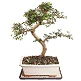 Brussel's Live Chinese Elm Outdoor Bonsai Tree - 14 Years Old; 16' to 20' Tall with Decorative Container, Humidity Tray & Deco Rock