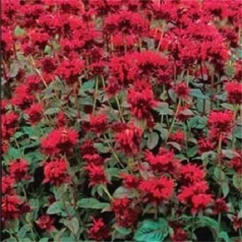 Portal Cool 10 Panorama Red Bee Balm/Monarda Didyma Oswego Tee Blumensamen + Gift & Combsh