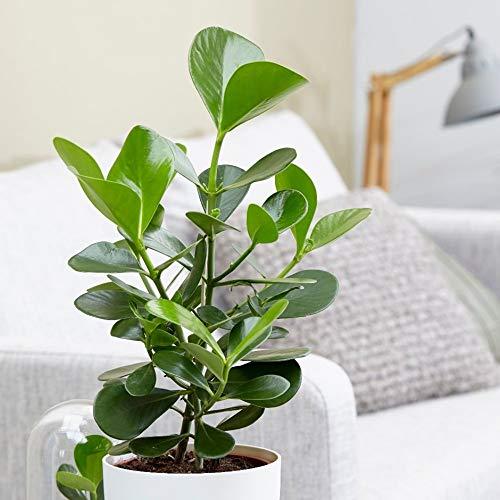 Grande promotion de nouvelles semences d'arbres rares 5pcs Signature, intérieur Graines vivaces Bonsai Clusia rosea