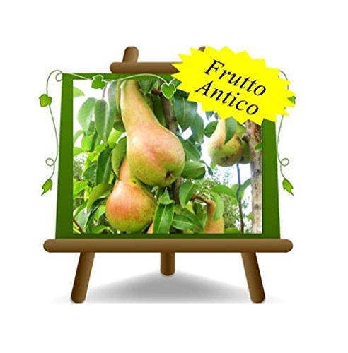 poirier poires Abate Fetel plante fruitière vieux sur un pot de 26 max 200 cm - 4 ans