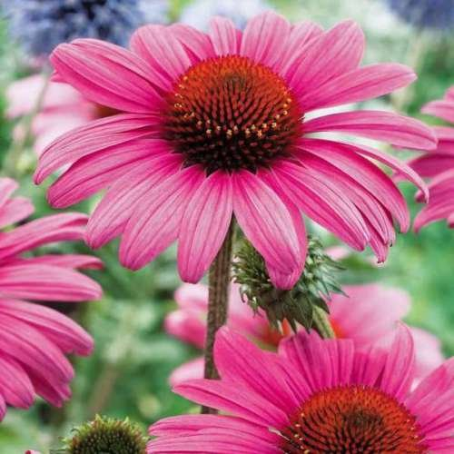 Semillas de flores equinácea purpurea de Ucrania