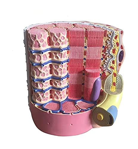 JKFZD Anatomie-Modell-Skelett-Muskelfaser-mikroskopisches anatomisches Modell medizinisches anatomisches Skelettmuskelfasermodell (Size : 26x19x21.5cm)