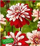 BALDUR-Garten Dahlie'Pacific Red White',2 Knollen