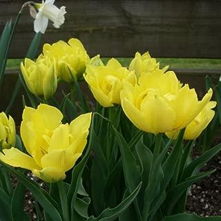 monte carlo tulip bulbs