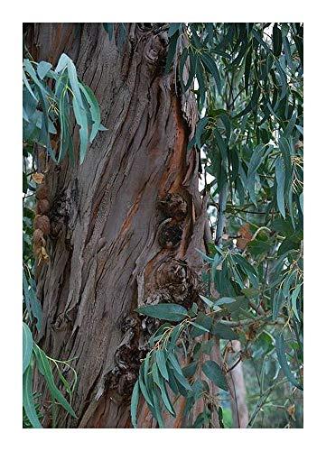 Eucalyptus citriodora - Eucalyptus citronn - 100 graines